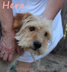 Rescue Diva sponsoree adopted! Dumped Greek dog Hera finds a home thanks to Graeske Hunde group