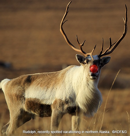 What does Rudolph do after the holidays? 18 awesome facts on reindeer habits and survival