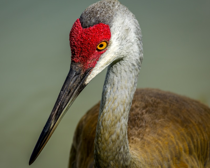 Flashy dancers, big talkers, and faithful mates, sandhill cranes might be the ultimate romantics